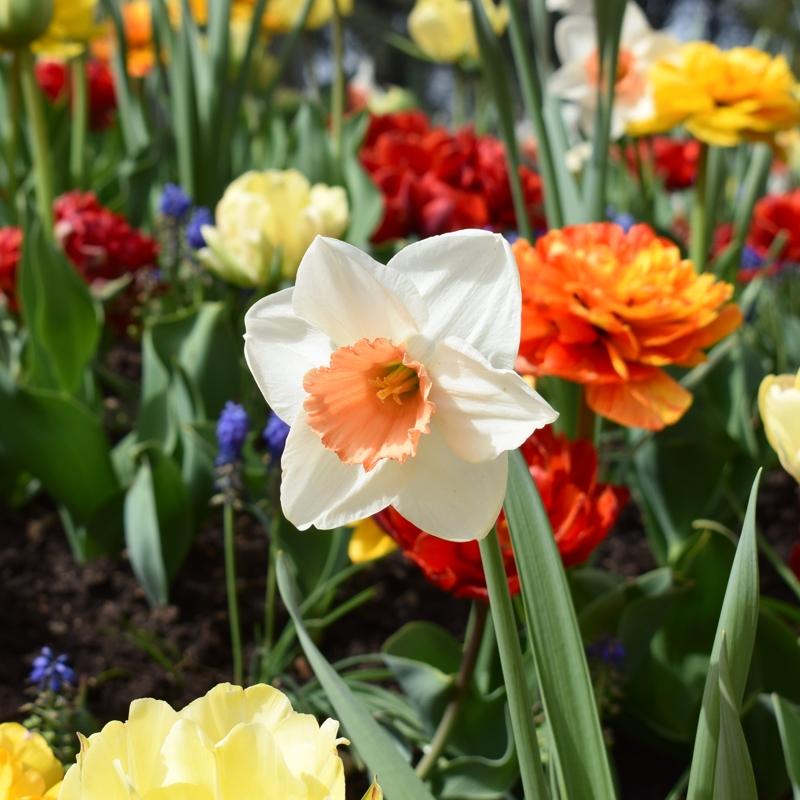 photo ensoleillée d'une jonquille blanche à 6 pétales blancs et au centre d'un orange très doux, sur fond d'autres fleurs rouges, violettes, jaunes